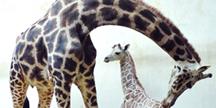 에버랜드 기린 '장순이', 세계 1위 다산여왕 등극