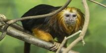 브라질 대표 희귀동물  에버랜드, 국내최초 '황금머리사자 타마린' 공개