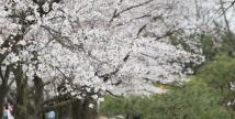 에버랜드, 벚꽃축제 오픈