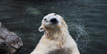 에버랜드, 북극곰 '통키' 11월 영국 이전 추진