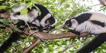 에버랜드, 국내 최초 '흑백목도리 여우원숭이' 공개
