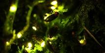 에버랜드, 한여름 밤의 반딧불이 특별 체험